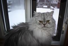 Chia's First Glimpse of Snow (A Great Capture) Tags: pet cat persian chat chia himalayan perisan ald ash2276 ashleyduffus ©ald ashleysphotographycom ashleysphotoscom ashleylduffus wwwashleysphotoscom