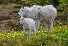 (Phil's Pixels) Tags: kid montana wildlife nanny goats glaciernationalpark hiddenlake mountaingoat hikes loganpass naturewatcher
