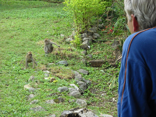 East Timor Monkeys