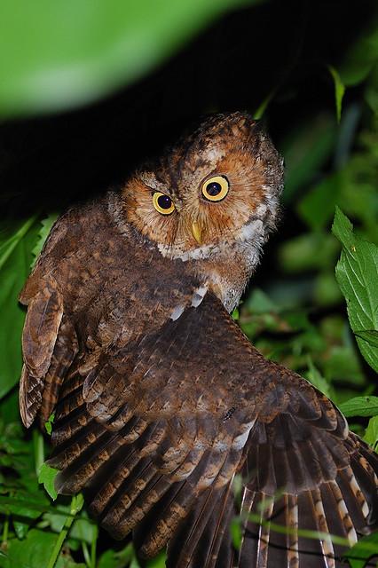黃嘴角鴞 Mountain Scops Owl@花蓮4