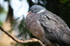 Do these feathers make me look fat? (Naomi | Warren) Tags: winter wild bird canon photography focus dof bokeh pigeon wildlife beak feathers fluffy naomi warren 55250mm