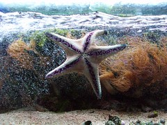 Starfish (MONIQUEWEBB1987) Tags: aquarium starfish