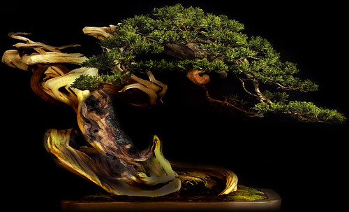 """Bonsai 078 • <a style=""""font-size:0.8em;"""" href=""""http://www.flickr.com/photos/30735181@N00/5261935842/"""" target=""""_blank"""">View on Flickr</a>"""