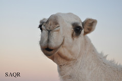 DSC_0518 () Tags: camel aziz