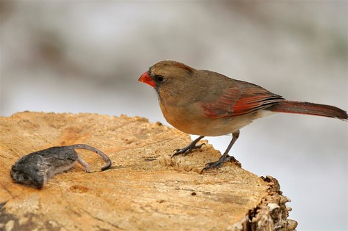 Female Cardinal eyeing up a strange snack!