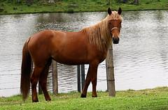 LINDA (Sedenir Taufer) Tags: animal cavalo equino