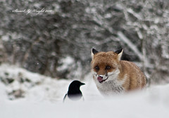 Young Fox Looking For Food (Stuart G Wright Photography) Tags: red cannock fox chase staffs