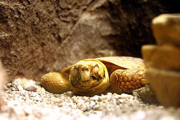 Sleeping Tortoise at the Wildlife World Zoo
