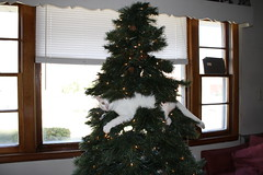My tree all decorated (Just Katety) Tags: tree cat christmastree christmasdecorations hahahahaha whitecat bobbert catintree christmastreedecorations treedecorations bobbyjoe catinchristmastree answerdinner iknowthatsawfulimsorry