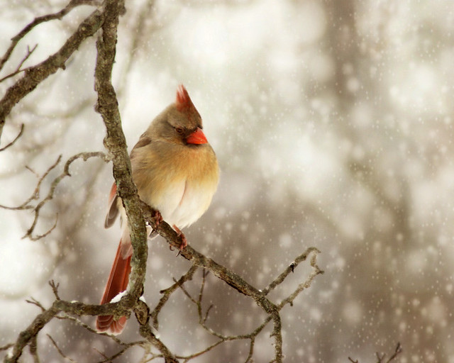 Female cardinal in snow bokeh