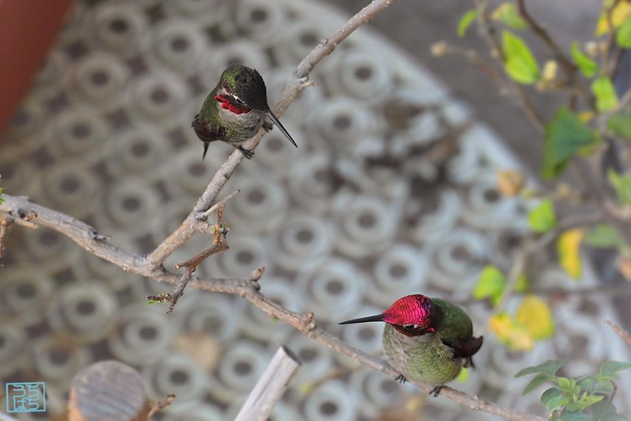 Anna's Hummingbird 122010-3