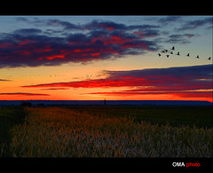 Geese in a red sunrise and frost. / Gansos en un amanecer rojo y de escarcha. (OMA photo) Tags: red sunrise rojo frost goose amanecer laguna palencia escarcha gansos lagunadenava