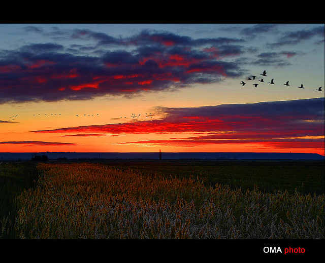 Geese in a red sunrise and frost. / Gansos en un amanecer rojo y de escarcha.