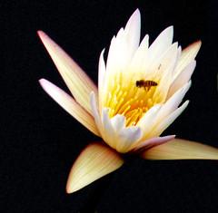 Waterlelie (waterlily) (megegj)) Tags: flowers flower fleur fleurs indonesia waterlily bloemen gert bloem waterlelie wonderfulworldofflowers