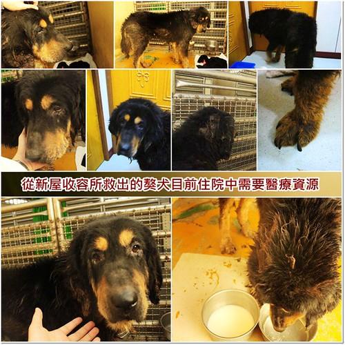 「助認養」從新屋收容所救出的獒犬,目前住院中,如有多餘能力懇請支援醫療資源,謝謝您,20101223