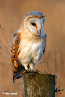Barn Owl Tyto alba perched on a wooden fence post