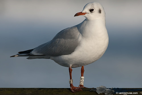 Black-headed Gull, adult, W[E5JE]
