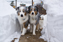 West Side Story ([ lee ]) Tags: dallas cool jets sheltie aussie leeloo pacifico westsidestory 2010days stalkingthecamera