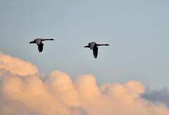 Sandhill Cranes & Geese near Lodi-California (Jaroslaw1980) Tags: geese soil sandhillcranes lodi migratorybirds withwater lodicranesfestival eachyearthousandsofvisitorsmaketheirwaytolodiareawildliferefugesandfarmlandstoexperiencefirsthandoneofnaturesspectaclestheabundanceofcranehabitatcontinuestonourishouragriculturalroots andclimatethatsustainsthebirds enrichesourlives andbenefitsourlocaleconomyahrefhttpwwwcranefestivalcomrelnofollowwwwcranefestivalcoma