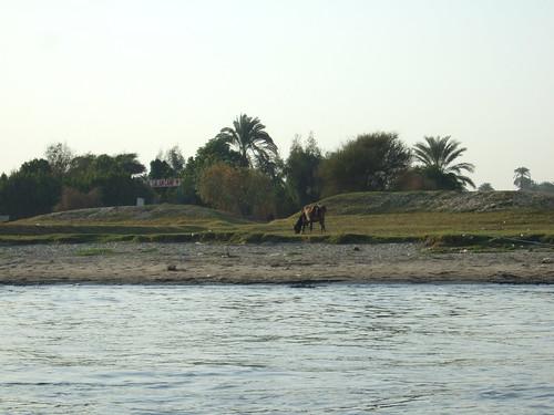 Cows on Banks of Nile