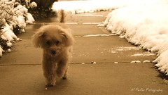 Run along (Very Nice! How Much?) Tags: winter dog snow toy antique poodle apricot tones