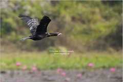 Migratory bird @ Jahangirnagar university (Ehtesham Khaled [www.ehteshamkhaled.com]) Tags: life camera wild lake flower bird art water forest lens fly pond flora nikon media university crystal birding clear lilly migratory cormorant dhaka guest splash migration ju khaled ehtesham gree bangladesh bangla advertise savar bangali rflection banga jahangirnagar sham619 gettyimagesbangladeshq3
