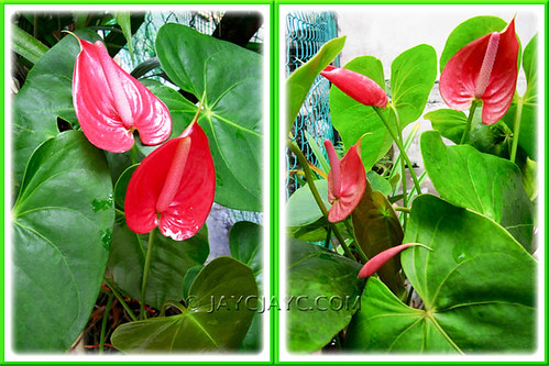 Potted Anthurium andraeanum (Flamingo Flower) at our backyard, December 2010
