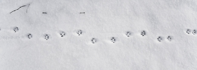 kattspår