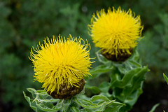 100618_647_Centaurea macrocephala.jpg (Alan Buckingham) Tags: summer kewgardens flower yellow howto practical knapweed basketflower centaureamacrocephala giantknapweed armenianbasketflower thistlelike yellowhardhat lemonfluff globecentaurea bigheadknapweed goldenthistle globeknapweed greatgoldenknapweed globeconeflower