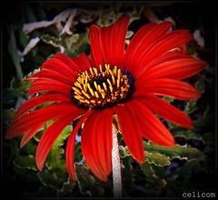 (celicom) Tags: naturaleza macro rojo flor gervera mimamorflowers