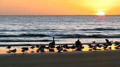 A New Dawn (nascentia) Tags: ocean seagulls bird beach pelicans nature animals sunrise florida widescreen atlanticocean flaglerbeach canonsx30is