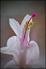 Warmer on the inside (JKmedia) Tags: christmas pink winter cactus white flower detail macro nature floral yellow closeup design flora pretty stamen bloom anther canoneos40d 15challengeswinner jkmedia pregamewinner threecoloursonly