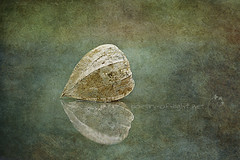 Silent whispers of time (Lightspectral) Tags: stilllife reflection texture mirror searchthebest silence withered fragile lampion evanescent chineselanterns transient flypaper transitory imagepoetry poetryoflightnet copyrightmariaschulzevorberg wwwpoetryoflightnet wwwflypaperblogspotcom copyright2013 mariaismanahschulzevorberg koenigswintergermany