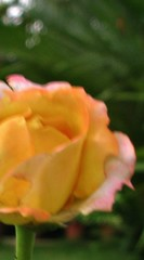 Shy Beauty (-RejiK) Tags: life blur flower love beauty rose youth canon spring eyes veiled you july shy hidden your eternity vague bring radiant affliction countenance tiruvalla g9 july09 rejik keralavisitjuly09