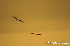 Basilicata: nibbi reali in volo (Matteo Visceglia) Tags: roost milvusmilvus nibbioreale