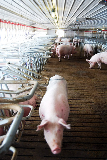Pregnant sows in group housing pens at a Smithfield farm in Utah
