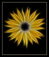 Fractal Daisy (tresed47) Tags: flowers macro longwoodgarden peterscamera petersphotos bryanscamera 20100307longwoodhyperfocus