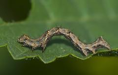 Acontia lucida (Macreando) Tags: sony 350 alpha sonyalpha himenoptera macreando