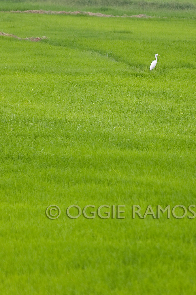 Candaba - White on Green