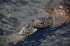 "Hawaiian Green Turtles or ""Honu"" (Chelonia mydas) DSC_1062 (NDomer73) Tags: 30december2010 december 2010 hawaii turtle seaturtle hawaiiangreenturtle reptile honu greenturtle greenseaturtle hawaiiangreenseaturtle"