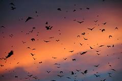 Kasanka Bats at Sunset 2