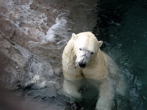 polar bear says num, num