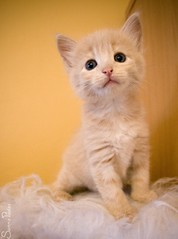 20080820_9573b (Fantasyfan.) Tags: pet cute animal topv111 tag3 taggedout furry topv555 topv333 kitten tag2 tag1 fluffy fantasyfanin pixeli