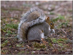 Dunham Massey Squirrel (Maria-H) Tags: uk england squirrel cheshire panasonic 3200 dunhammassey highiso 100300 gh2 dmcgh2
