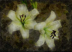 Lilies Composite (Sarahbob2) Tags: flowers digitalart textures digitalpainting whitelillies floralart
