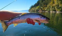 Salty (E. Hanson) Tags: washingtonstate hoodcanal flyfishing trout cutthroat searun catchandrelease fall