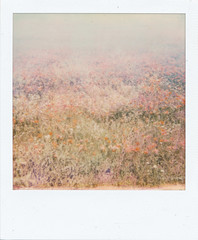Poppies. (sullen_snowflakes) Tags: poppies papaveri fiori flowers polaroid impossiblefilm impossibleproject