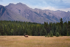 Bull Elk and Mountains (Heather_K_Jones) Tags: alberta banff banffnationalpark canadianrockies elk rockymountains animal autumn bullelk canada fall forest landscape mountains nature rutt scenery scenic tourism touristattraction travel trees wildlife woods