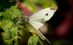 small white (rich lewis) Tags: macro macrophotography smallwhite pierisrapae nature richlewis
