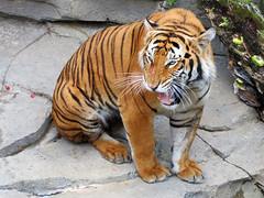 Tiger (meeko_) Tags: tiger animals jungala attraction busch gardens tampa africa buschgardens buschgardenstampa buschgardenstampabay buschgardensafrica themepark florida